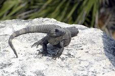 Free Sunning Iguana Stock Photography - 1680112