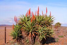 Free Krantz Aloe Royalty Free Stock Image - 1680436