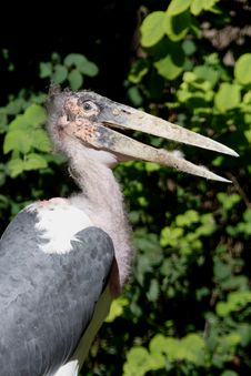 Marabou Stork (Leptoptilos Crumeniferus) Stock Photography
