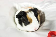 Free Baby Guinea Pig Stock Images - 1680974
