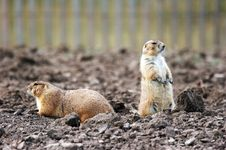 Free Two Prairie Dogs Stock Images - 1681314