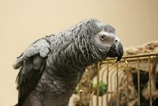 Free Ruffled Up Parrot Royalty Free Stock Photos - 1681378