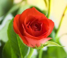 Free Red Rose Royalty Free Stock Image - 1682676