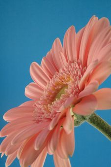 Free Pink Gerbera Royalty Free Stock Photography - 1682717