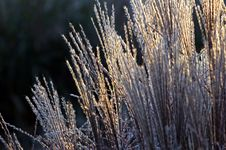 Free Golden Backlit Grasses Royalty Free Stock Photography - 1682757