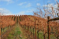 Free Landscape Of Autumn Vineyard Stock Images - 1683884