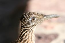 Roadrunner Death Valley Royalty Free Stock Images