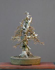 Free Larch Bonsai In Winter Stock Photo - 1684540