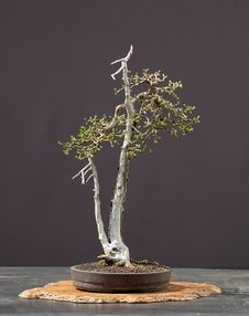 Free Larch Bonsai In Spring Royalty Free Stock Images - 1684609