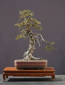 Free Larch Bonsai In Spring Royalty Free Stock Images - 1684659