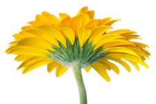 Free Yellow Daisy Petails Royalty Free Stock Image - 1684666