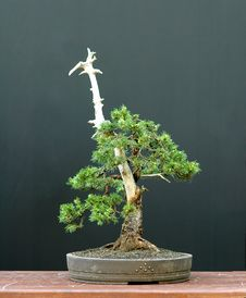 Free Spruce Bonsai Stock Image - 1684751