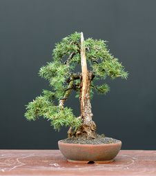Free Spruce Bonsai Stock Image - 1684761
