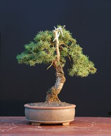 Free Spruce Bonsai, Small Stock Image - 1684771