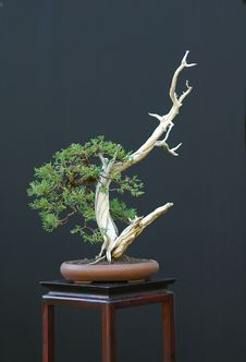 Free Rocky Mountain Juniper Bonsai Royalty Free Stock Images - 1684829
