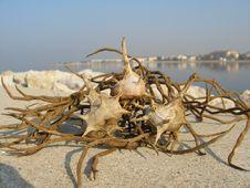 Free Sea-shells Royalty Free Stock Photography - 1684917