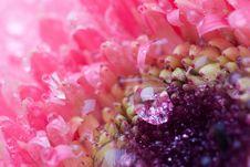 Free Pink Daisy Petails Stock Photos - 1685373