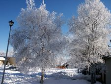 Pict 5455 Birch Trees Covered In Early Morning Frost Stock Photo