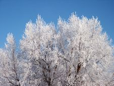 Pict 5460 Trees Covered In Hoary Frost Royalty Free Stock Photos