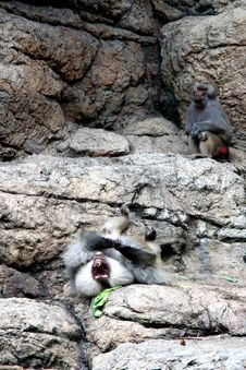 Free Baboons At Zoo Royalty Free Stock Images - 1686329