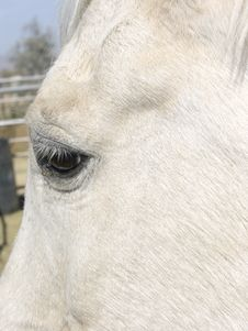White Horse Face And Eye Stock Photography