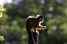 Free Ape Stock Image - 1687411