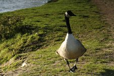Free Canada Goose Royalty Free Stock Photos - 1687488