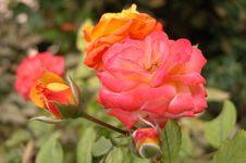 Free Rose Royalty Free Stock Photos - 1688258