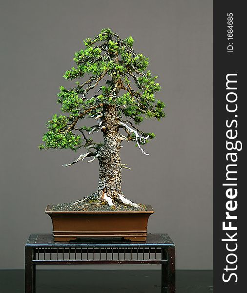Spruce Bonsai In Spiring Free Stock Images Photos 1684685 Stockfreeimages Com
