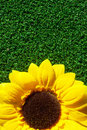Free Sun Flower On Grass Royalty Free Stock Images - 16806959