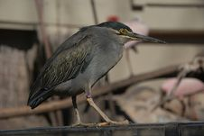 Free Beautiful Bird - Family Ardeidae Stock Photos - 16800303