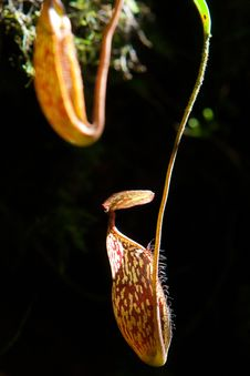 Free Nepenthes Alata Flower Or Pitcher Plant Stock Photos - 16800873