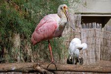 Free Beautiful Bird Roseate Spoonbill Stock Photography - 16800942