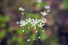 Free First Spring Flower Royalty Free Stock Photography - 16801557