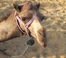 Free Camel Stock Image - 16801991
