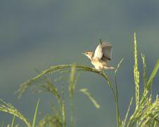 Free Bird On Rice Royalty Free Stock Image - 16803226