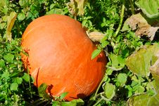 Free Orange Pumpkin Royalty Free Stock Image - 16803316