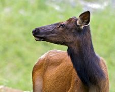 Elk Doe Stock Image