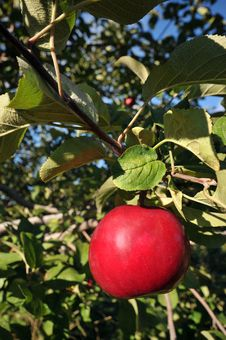 Free Red Apples On A Branch Of Tree Stock Image - 16805001