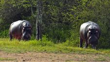 Free Hippos Grazing On Land. Stock Photos - 16805333
