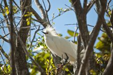 Free Snowy Egret Perched In A Tree Stock Image - 16806101