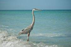 Free Great Blue Heron Standing On A Gulf Coast Beach Royalty Free Stock Image - 16806106