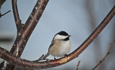 Free Black-capped Chickadee Perched On A Branch Royalty Free Stock Photo - 16806165