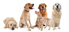 Golden Retriever And Labrador Retriever Stock Images