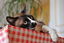 Free Siamese Cat Stock Photo - 16806330