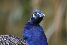 Free Indian Peafowl Stock Photos - 16807573