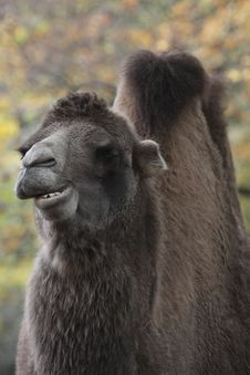 Free Bactrian Camel Stock Images - 16807684