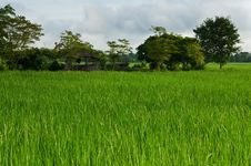 Free Rice Fields Stock Photos - 16807703