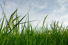 Free Closeup Of Rice On Plantation Stock Photos - 16807723