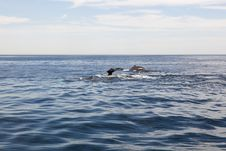 Free Cape Cod: Whales Diving In The Sea Royalty Free Stock Image - 16808106